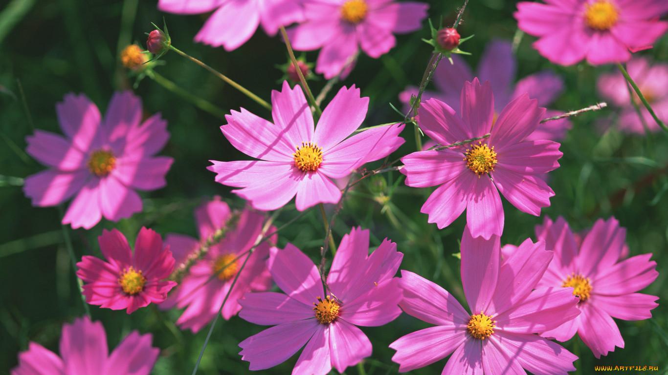 Космея, или Космос цветок: фото, выращивание и уход 45